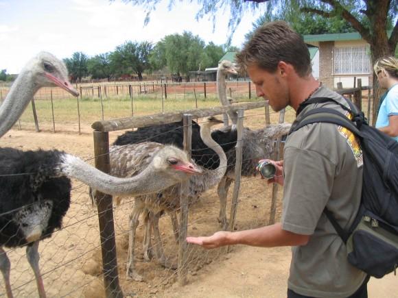 Feeding the Ostriches Oudtshoorn Ostrich Farm South Africa