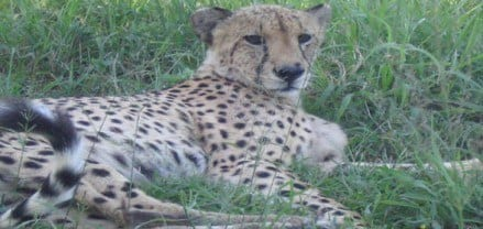 Close encounter with a cheetah South Africa rehabilitation center