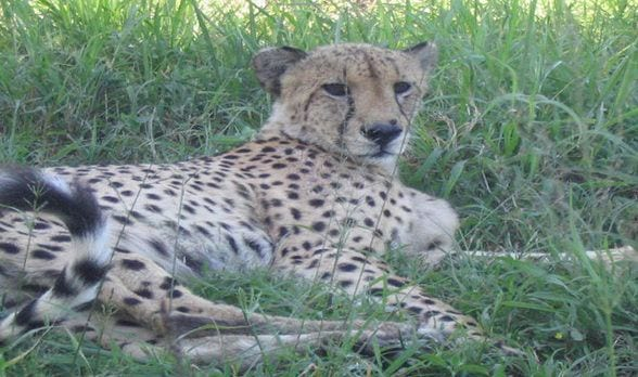 Memories of African Wildlife: Coming Face to Face with a Cheetah