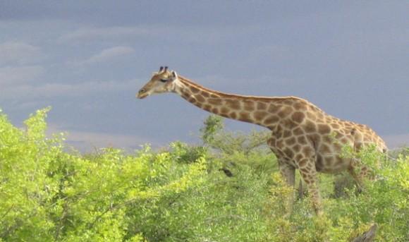 Giraffes in Etosha NP