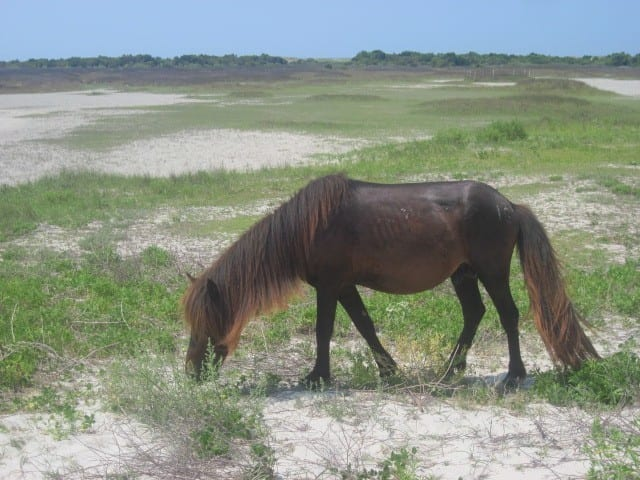 wild horses of Shackleford Island NC