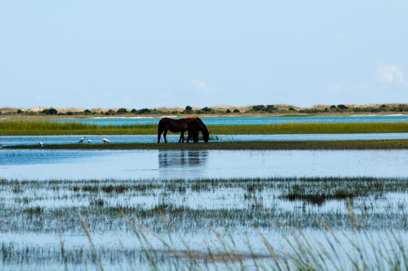 wild horses in the outer banks