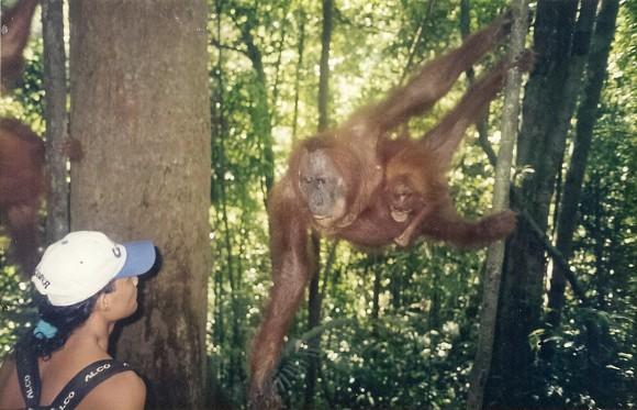 Bukit Lawang Orangutans