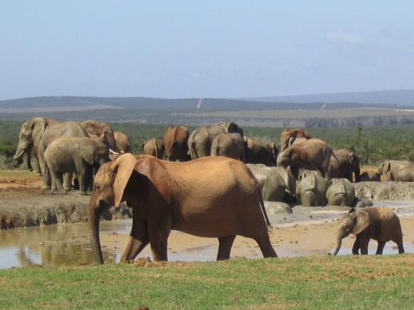 Elephants in the mud bath