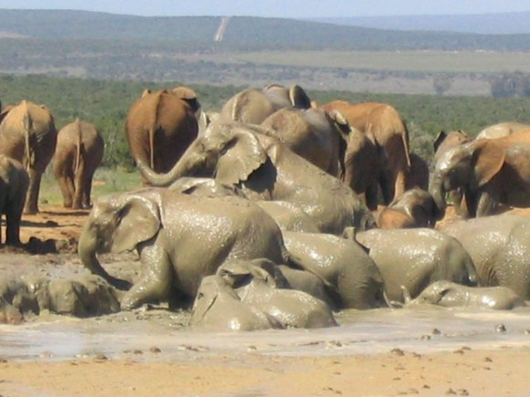 Elephants having a mud bath