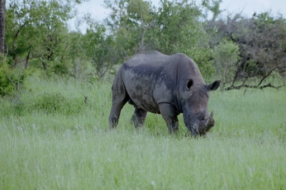 Rhinoceros in Kruger Park South Africa
