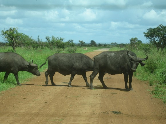 Buffalo in Kruger Park South Africa