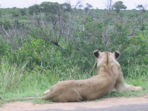 Lion in Kruger park South Africa