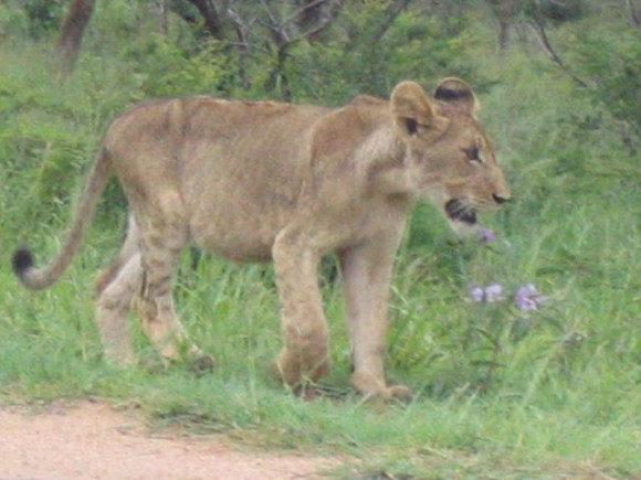 Lion cub in Kruger Park South Africa