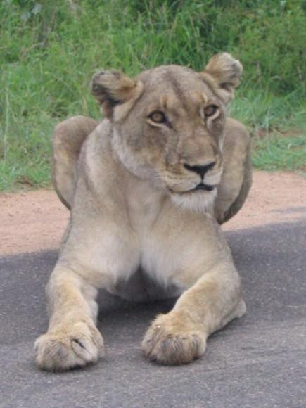 Lion - Kruger Park South Africa