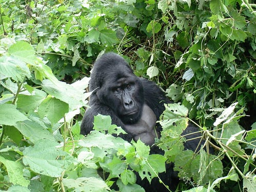 Gorillas in the wild Uganda