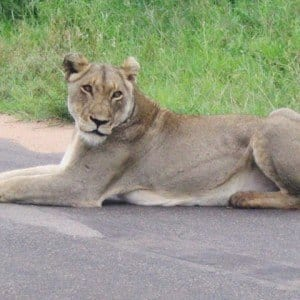 Photos of Lions