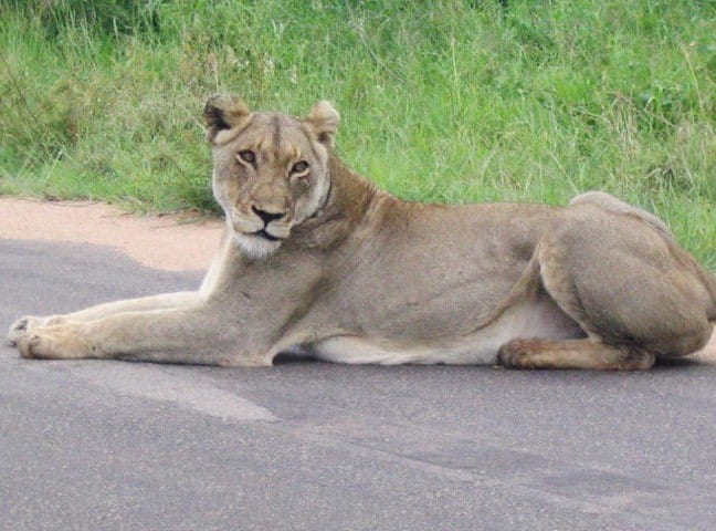 Photos of Lions in Africa