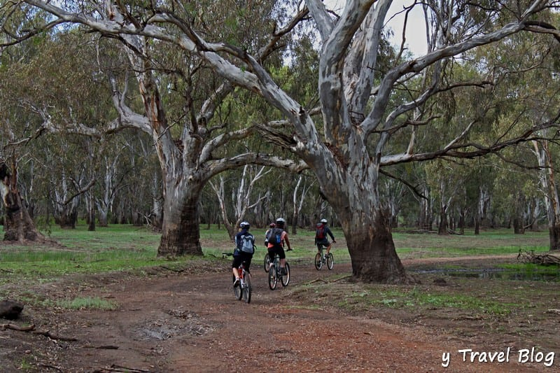 bike riding through the River Red Gum Forest