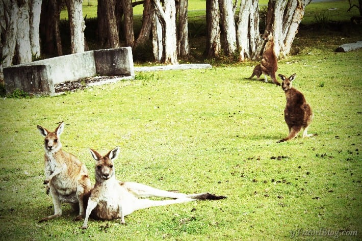 Kangaroos on Little Bay