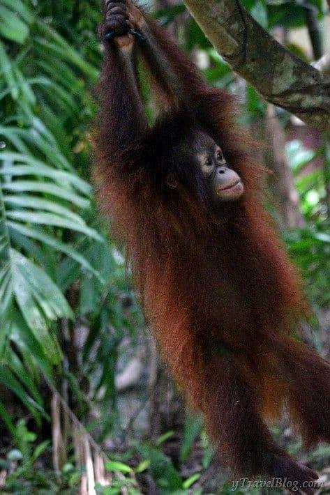 baby orangutan swinging