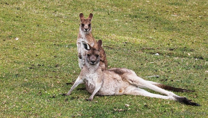 kangaroos in South West Rocks