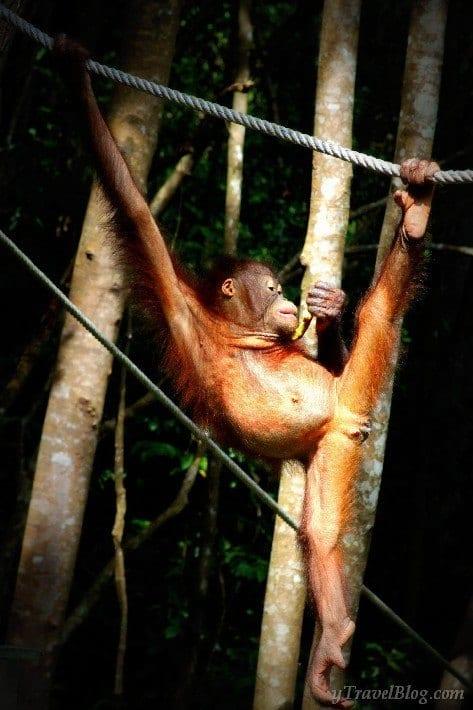Orangutans sabah Borneo