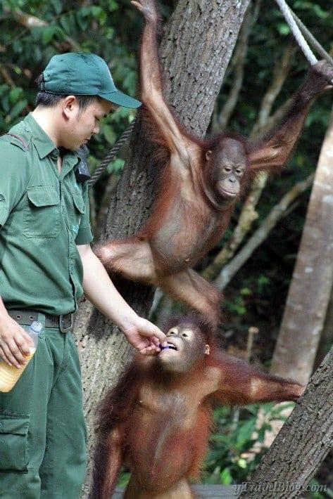 orangutans feeding Orangutan sanctuary Borneo