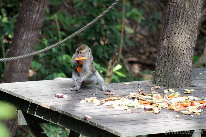 long-tailed macaque monkey stealing food