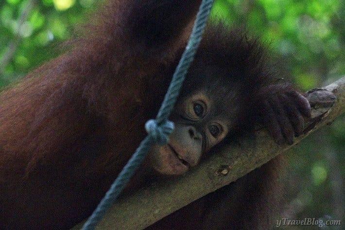 baby orangutan Borneo