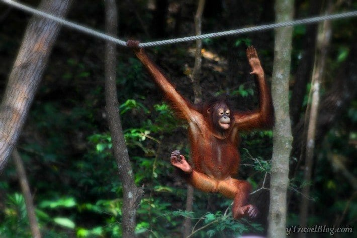 orangutans swinging through the trees