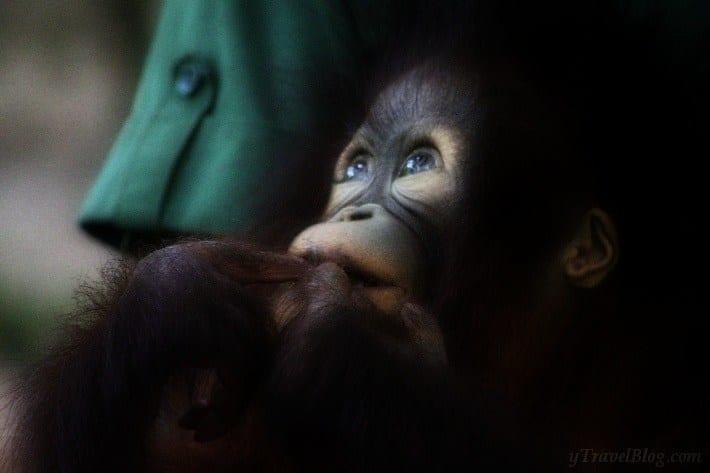 baby orangutan sanctuary Borneo