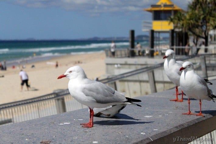 seagulls Surfers Paradise Gold Coast