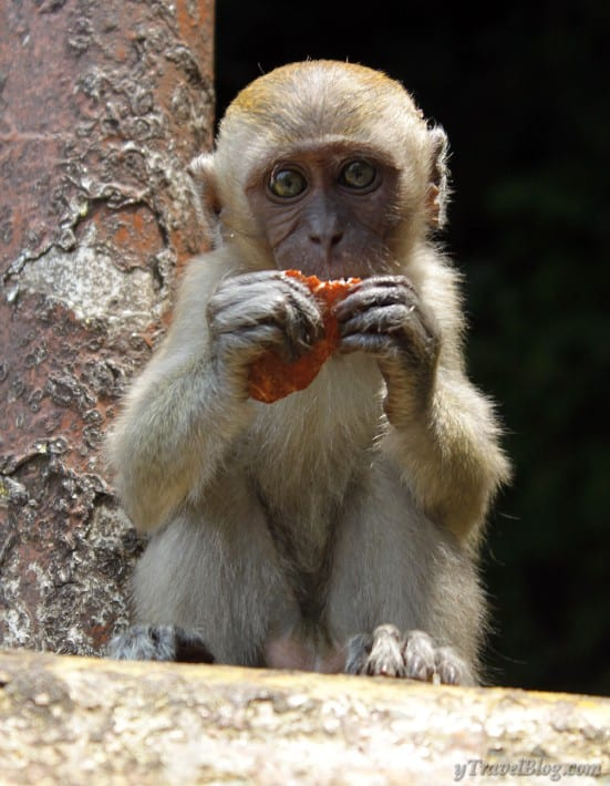 long tailed macaque monkeys