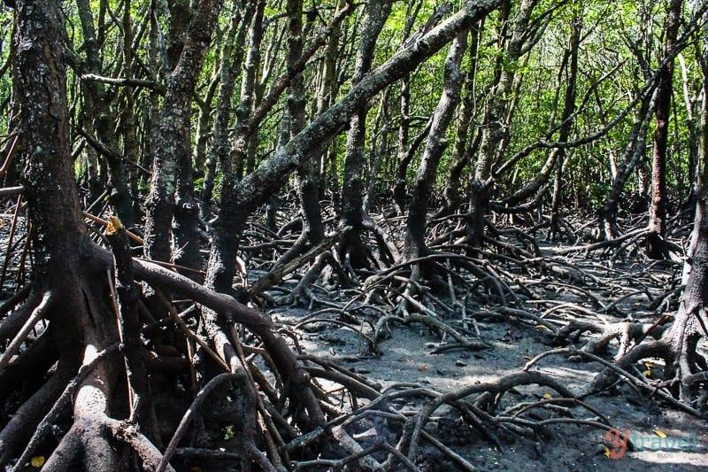 Mangroves Mossman Cairns