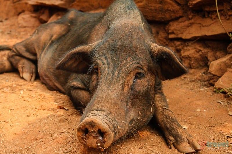 village pig