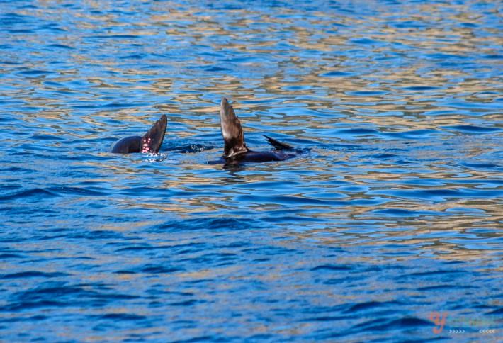 seals waving