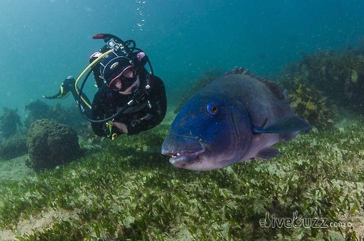 Blue Groper - Diving at Shelly Beach in Sydney, Australia