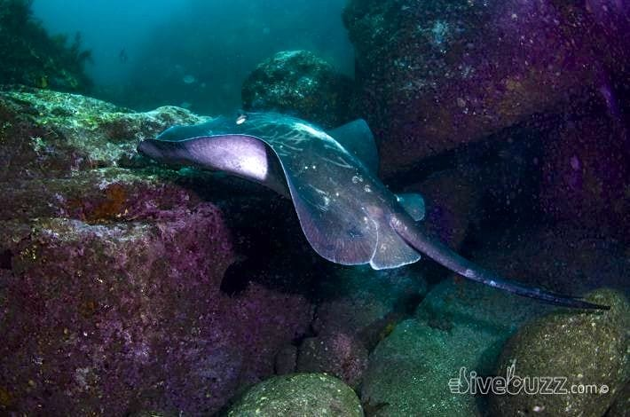 Bull Ray - Diving at Shelly Beach in Sydney, Australia