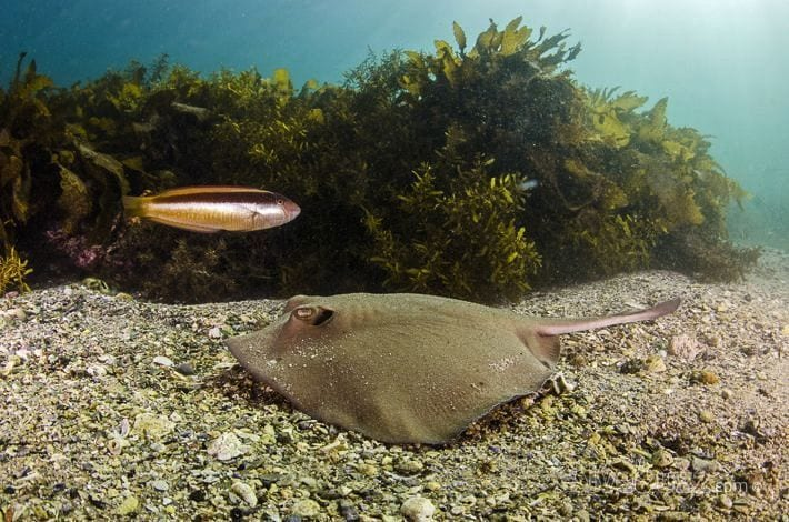 Stingray - Diving at Shelly Beach in Sydney, Australia