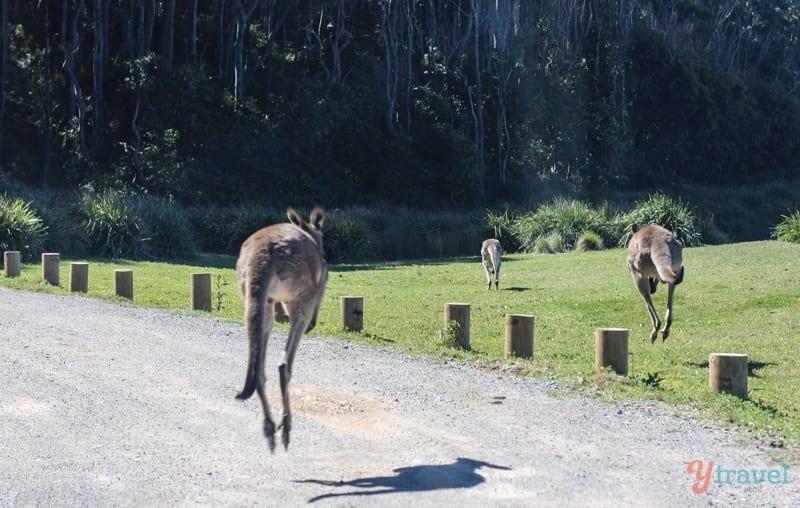 Kangaroos at Depot Beach, Australia