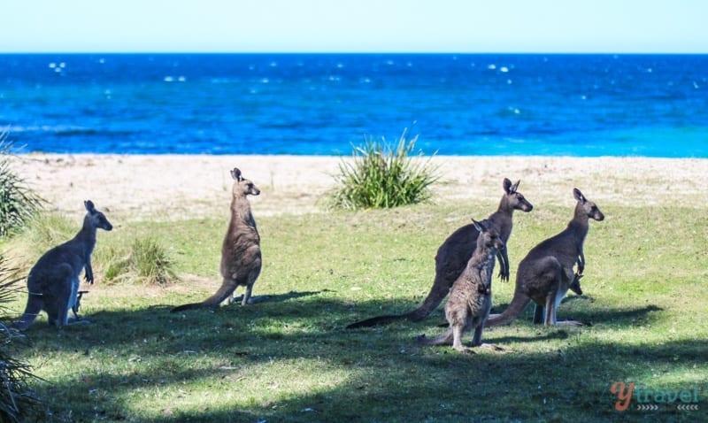Kangaroos on Depot Beach, Australia