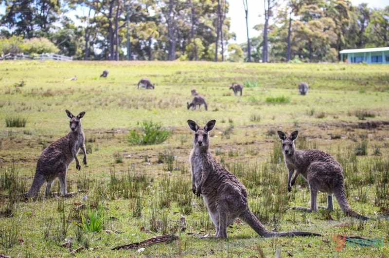 wild Kangaroos in Pretty Beach, NSW