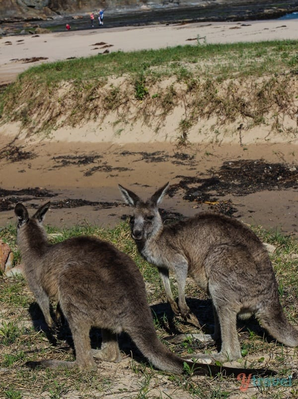 Kangaroos on Pebbly Beach, Australia