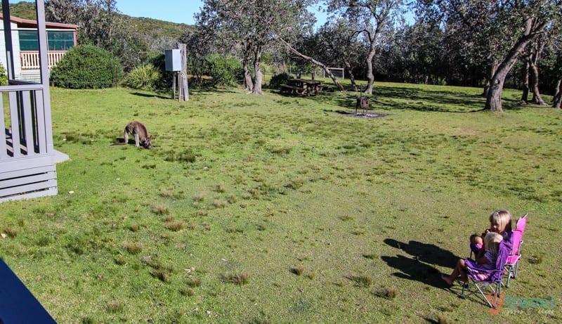 Kangaroos in Australia