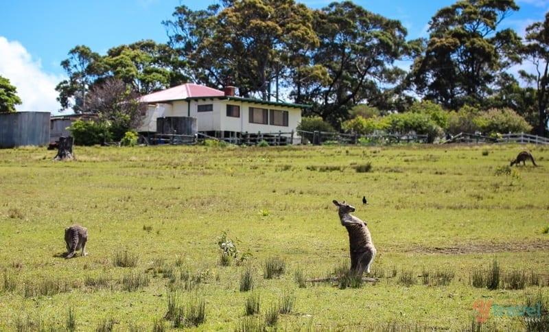 Where to see Kangaroos in Australia