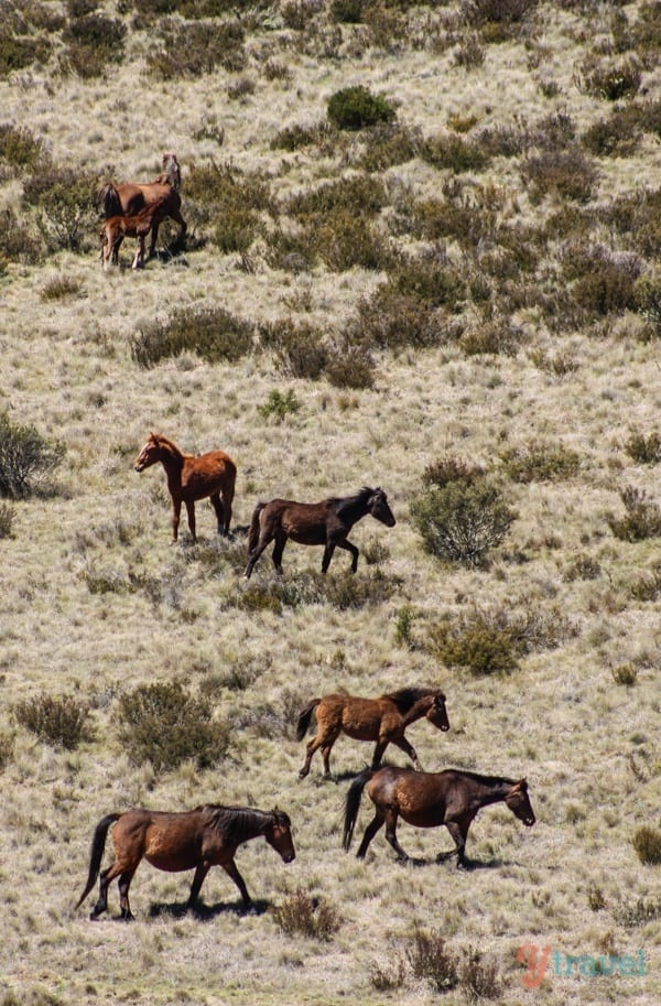 Wild Brumbies, Snowy Mountains, Australia