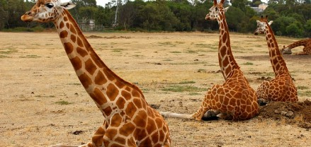 Giraffes at Werribee Zoo in Melbourne