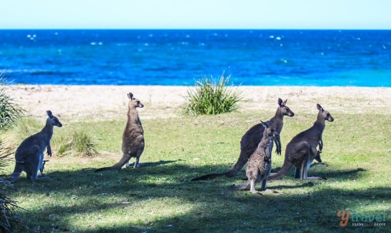 Kangaroos, South Coast NSW, Australia