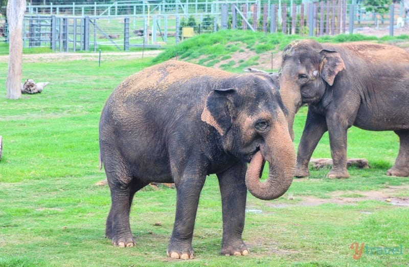 Elephants - Dubbo Zoo, NSW, Australia