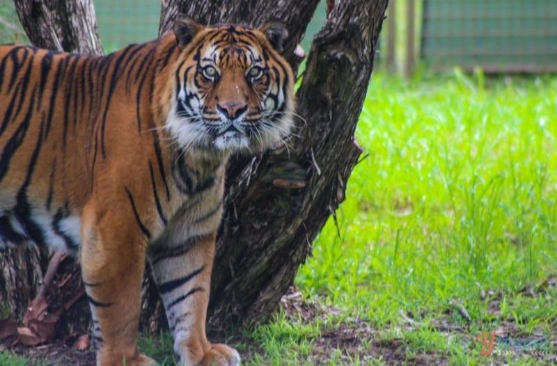 Tiger - Dubbo Zoo, NSW, Australia