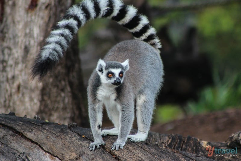 Ring Tailed Lemur - Dubbo Zoo, NSW, Australia
