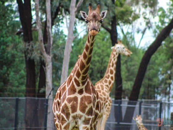 Giraffe - Dubbo Zoo, NSW, Australia
