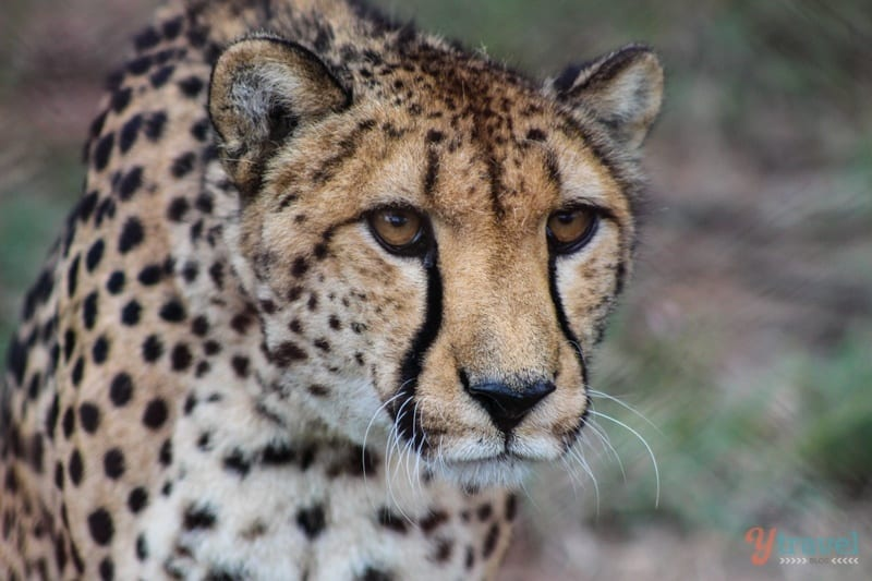 Cheetah - Dubbo Zoo, NSW, Australia