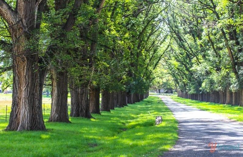 Elm Trees - Armidale, Australia